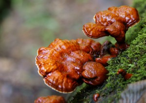 Medicinal mushrooms for your health